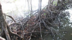 rừng Đước Cà Mau